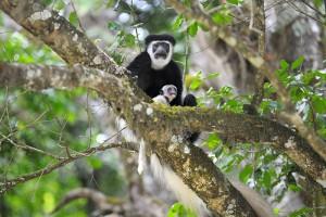 Arusha-National-Park-Monkeys